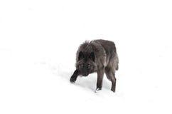 svart wolf Royaltyfri Fotografi