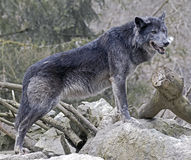 Svart wolf 1 Royaltyfria Foton