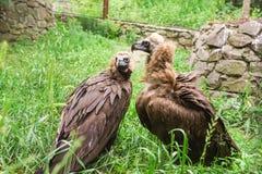 Svarta Aegypiusmonachusen för gammet eller för den svarta gammet är en fågel av hökfamiljen Arkivbild