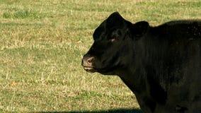 Svarta Angus Beef Cow - ett djur som in betar, betar på solig dag stock video