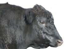 Svarta Angus Bull vänder mot isolerat med banan arkivbild