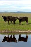 Svarta Angus Cattle Arkivbilder