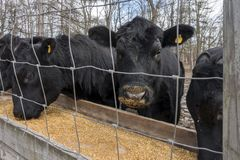 Svarta Angus Cows Eating Corn i en ho Royaltyfria Bilder
