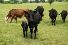 Svarta angus ko- och kalvpar på gräsplan betar fotografering för bildbyråer