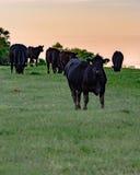 Svarta Angus kor betar in på solnedgången - lodlinje royaltyfria bilder