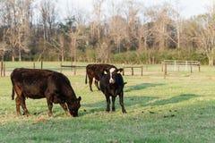 Svarta Angus korsade kor i vår betar arkivfoton