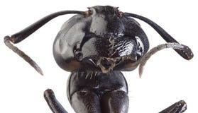 Svarta Ant Cutout Arkivfoto