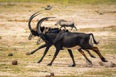 Svarta antilop på Bwabwata N P Namibia royaltyfria foton