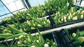Svarta askar som fylls med att blomstra tulpan lager videofilmer