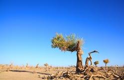 svarta avlövade poplars Royaltyfri Fotografi