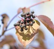 Svarta bär på en buske i natur Royaltyfri Foto