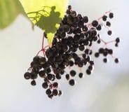 Svarta bär på en buske i natur Royaltyfri Fotografi