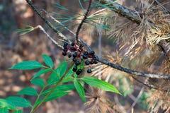 Svarta bär på en filial i skogen Royaltyfria Bilder