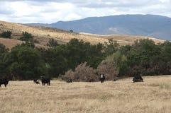 Svarta Baldy och svart Angus Cattle i ett fält Arkivbild