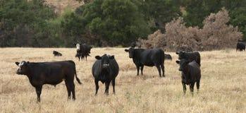 Svarta Baldy och svart Angus Cattle i ett fält arkivbilder
