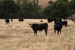 Svarta Baldy och svart Angus Cattle i ett fält Fotografering för Bildbyråer