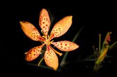 Svarta Berry Lily Royaltyfria Bilder