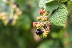 Svarta Berry Plant Fotografering för Bildbyråer