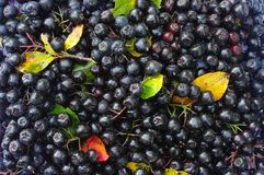 Svarta berrys av chokeberry- och färgblad i höst som bakgrund Royaltyfria Bilder