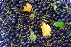 Svarta berrys av chokeberry- och färgblad i höst som bakgrund Fotografering för Bildbyråer