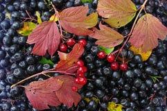 Svarta berrys av chokeberry- och viburnumopulusen med färgblad i höst som bakgrund Arkivbild