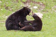 Svarta björnar Arkivbild