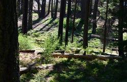 Svarta björnar i sequoianationalparken, Kalifornien Royaltyfri Bild