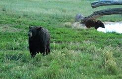 Svarta björnar på björnlandet royaltyfri bild