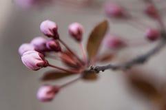 Svarta blommaknoppar för körsbärsröd plommon Arkivbild