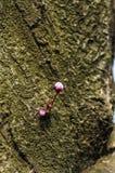 Svarta blommaknoppar för körsbärsröd plommon Royaltyfri Bild