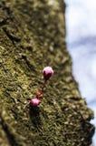 Svarta blommaknoppar för körsbärsröd plommon Arkivfoto