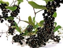 Svarta Bryony Berries royaltyfri fotografi