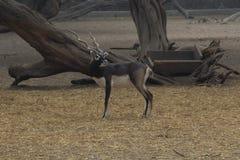 Svarta Buck Deer Royaltyfri Bild