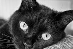 Svarta Cat Gazing - svartvitt I Arkivbild