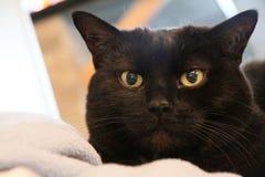 Svarta Cat Gold Eyes Royaltyfri Bild