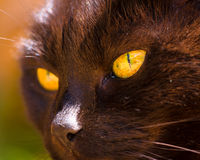 Svarta Cat With Golden Eyes In solskenet Royaltyfri Fotografi
