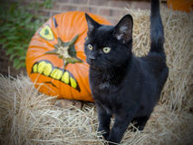 Svarta Cat Halloween Adoption Photo Fotografering för Bildbyråer