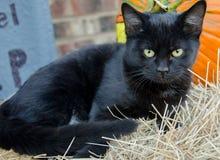 Svarta Cat Halloween Adoption Photo Royaltyfri Foto