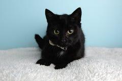 Svarta Cat Portrait, i studio och att bära en fluga arkivfoton