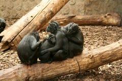 svarta celebes krönade macaquen sulawesi Royaltyfri Fotografi