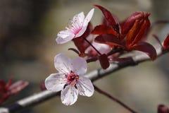 Svarta Cherry Plum royaltyfria foton