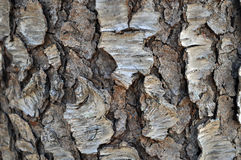 Svarta Cherry Tree Bark Arkivbilder