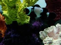 svarta clownfish i saltvattens- akvarium royaltyfri bild