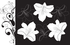 svarta conturliljar för bakgrund Arkivbild