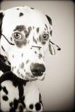 svarta dalmatian exponeringsglas som slitage white Royaltyfri Fotografi