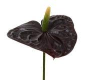 svarta dekorativa blommablommor för anthurium Arkivfoto