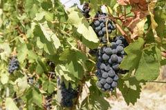Svarta druva- och vinrankasidor, Piedmont, Italien Arkivfoton