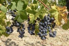Svarta druva- och vinrankasidor, 02, Piedmont, Italien Arkivbild