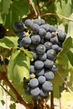 Svarta druva- och vinrankasidor, 03, Piedmont, Italien Royaltyfria Foton
