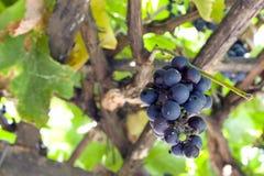 svarta druvor Fotografering för Bildbyråer